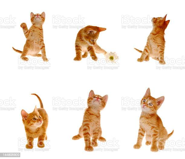 Orange tabby kitten in different poses over a white surface picture id144805920?b=1&k=6&m=144805920&s=612x612&h=dybxympmbpi5v4ld3ncwu5f9qrz96tjmqw 3xykrr5s=