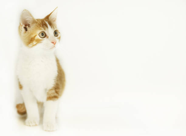 Orange tabby kitten on an isolated white background with area for text. stock photo