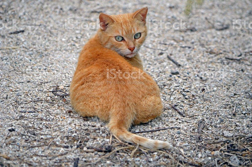 Orange Tabby Stray stock photo