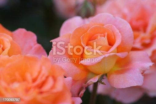 Orange tea roses.
