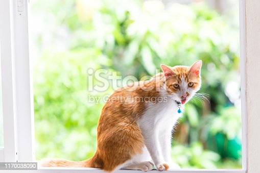 Orange Thai cat, 6-7 months old, living in a house ,playful and having fun