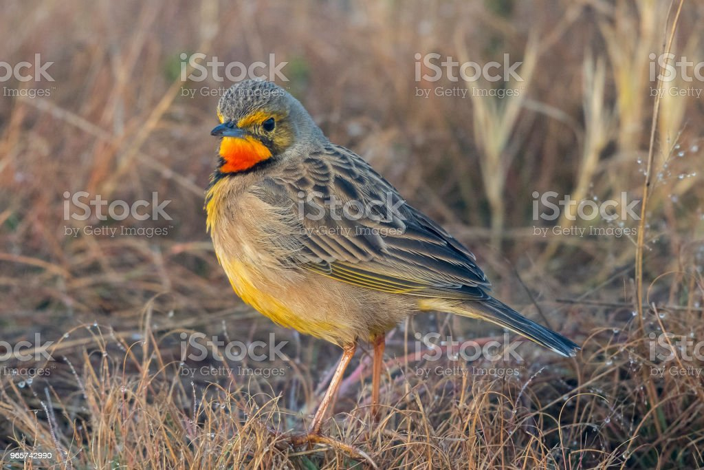 Orange throated lonclaw on dry grass - Royalty-free Claro Foto de stock