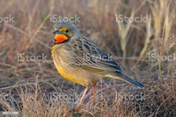 Orange Throated Lonclaw On Dry Grass - Fotografias de stock e mais imagens de Claro