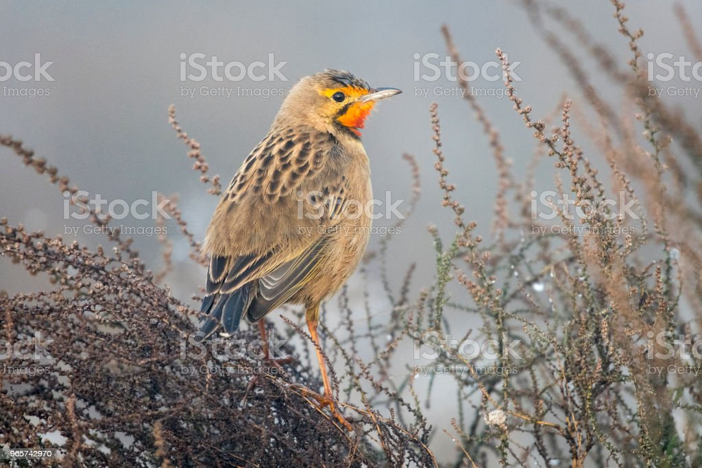 Orange throated longclaw on dry bush in mist - Royalty-free Africa Stock Photo