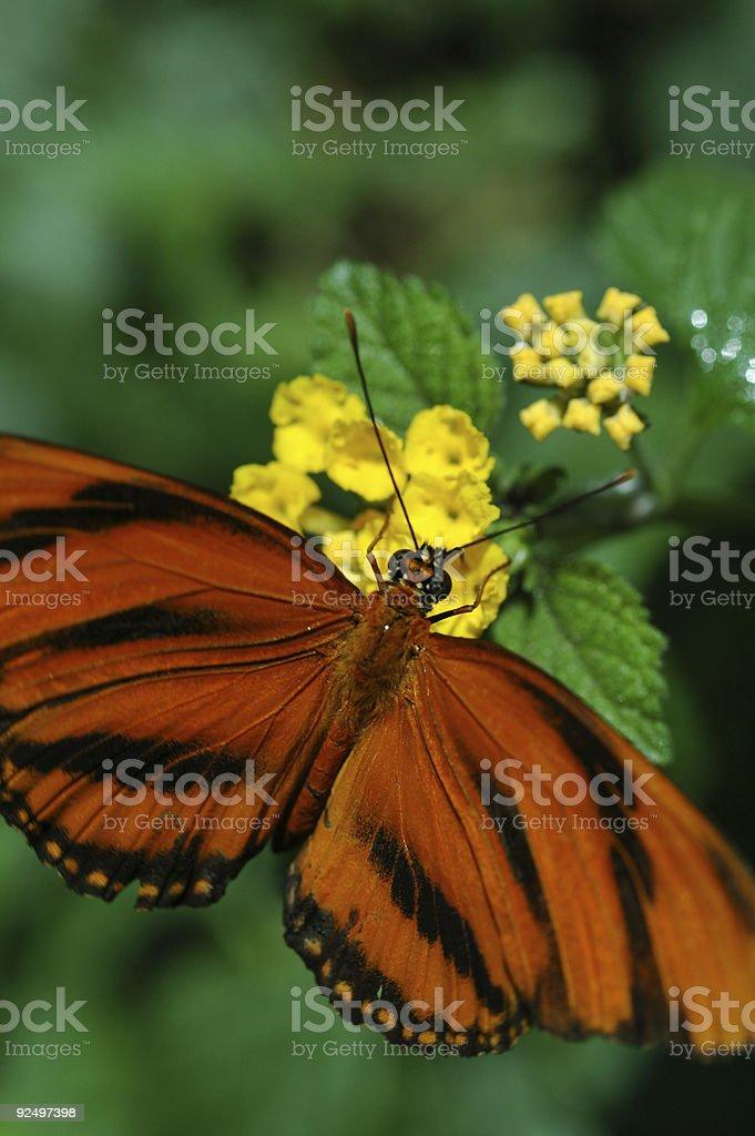 orange tiger butterfly, Dryadula phaetusa royalty-free stock photo