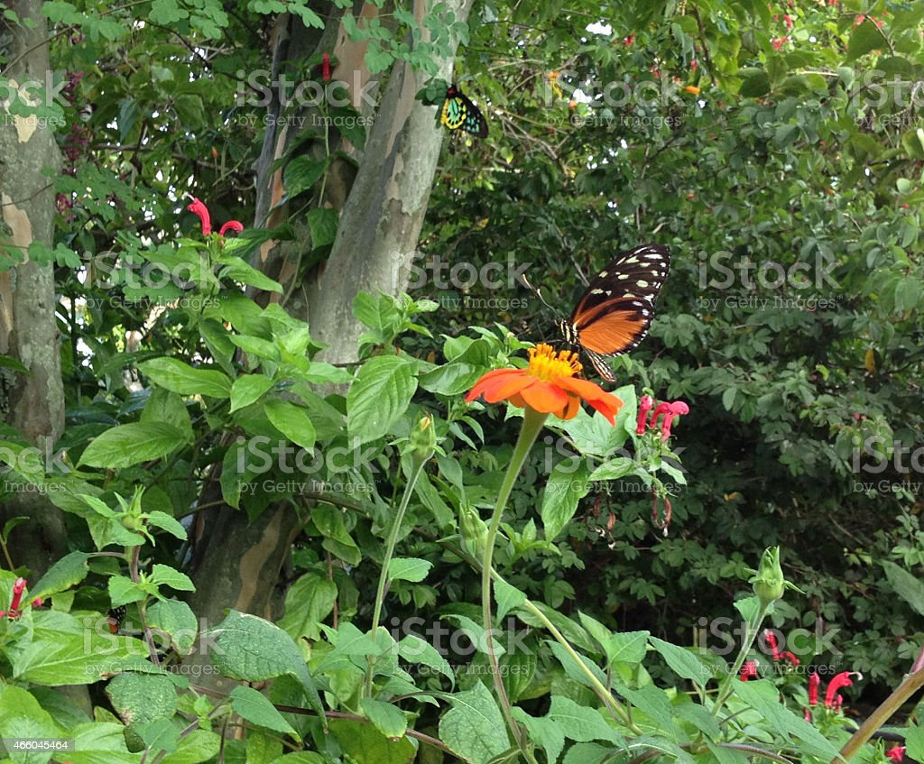 Orange tiger butterfly perched on Mexican sunflower stock photo