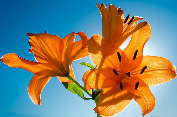 Orange Tiger Lily- backlit stock photo