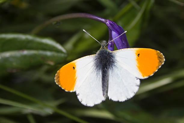 Orange tip butterfly on bluebell picture id494399361?b=1&k=6&m=494399361&s=612x612&w=0&h=5bvuedrla3509daxn8xatqmneudyh43wqonssh0uwbe=
