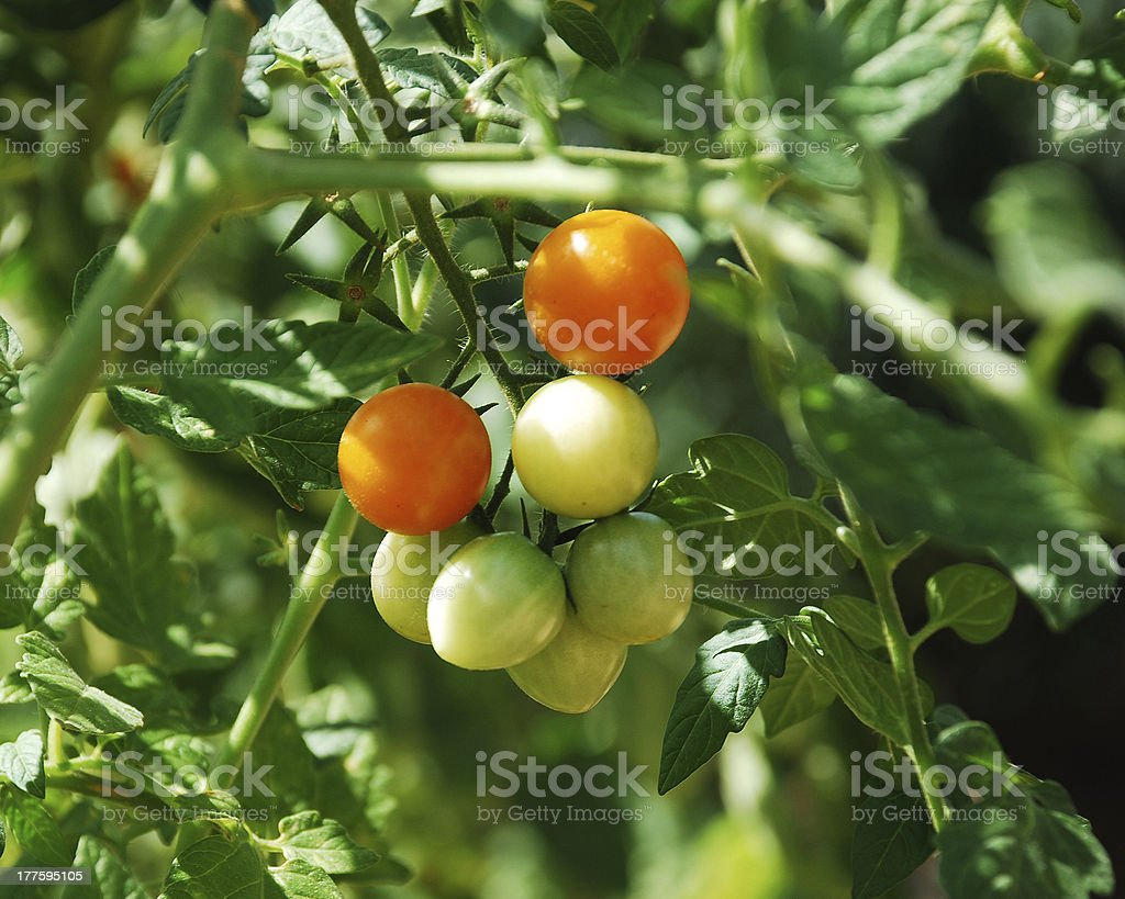 Orange Tomatoes Ripening on the Vine royalty-free stock photo
