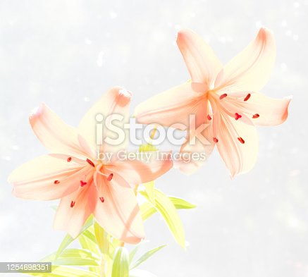 Orange transparent lilies on white background for Mothers Day or Valentines concept.  Also Sympathy and Condolence Concept