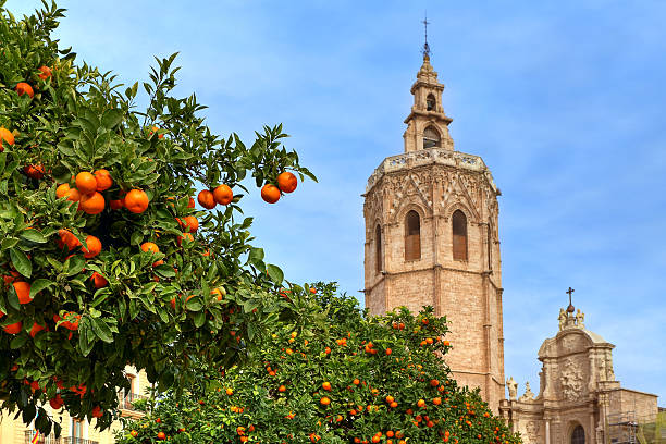 Orange tree and Valencia Cathedral. Trees with ripe oranges and bell tower of famous Saint Mary's Cathedral on background under blue sky in Valencia, Spain. bell tower tower stock pictures, royalty-free photos & images