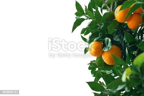 clusters of bright orange naval oranges hanging from naval orange tree, riverside california