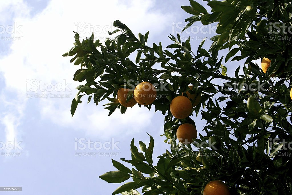 Orange Tree bearing ripe fruit stock photo