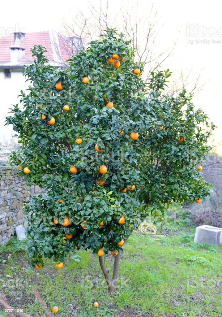 Orange tree close to Camogli royalty-free stock photo