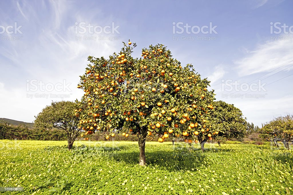 Orange tree full of oranges in springtime royalty-free stock photo