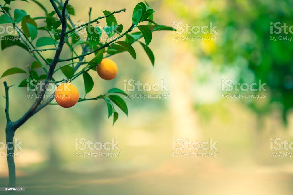 Jardín del árbol de naranja - foto de stock