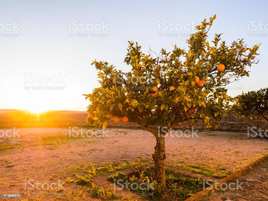 Orange tree growing in Esporao, Alentejo region, Portugal, at sunset