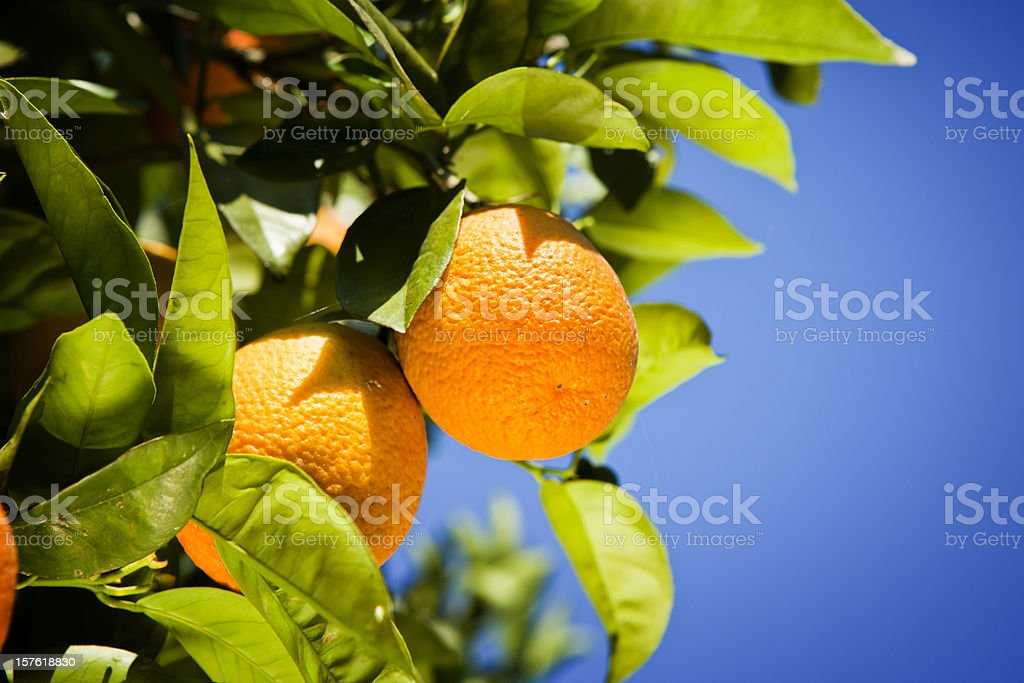 Orange tree harvest royalty-free stock photo