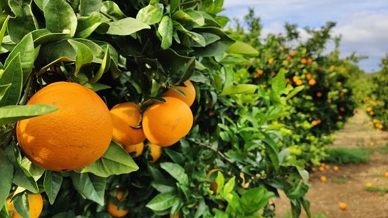 Orange tree in an Orange Grove.