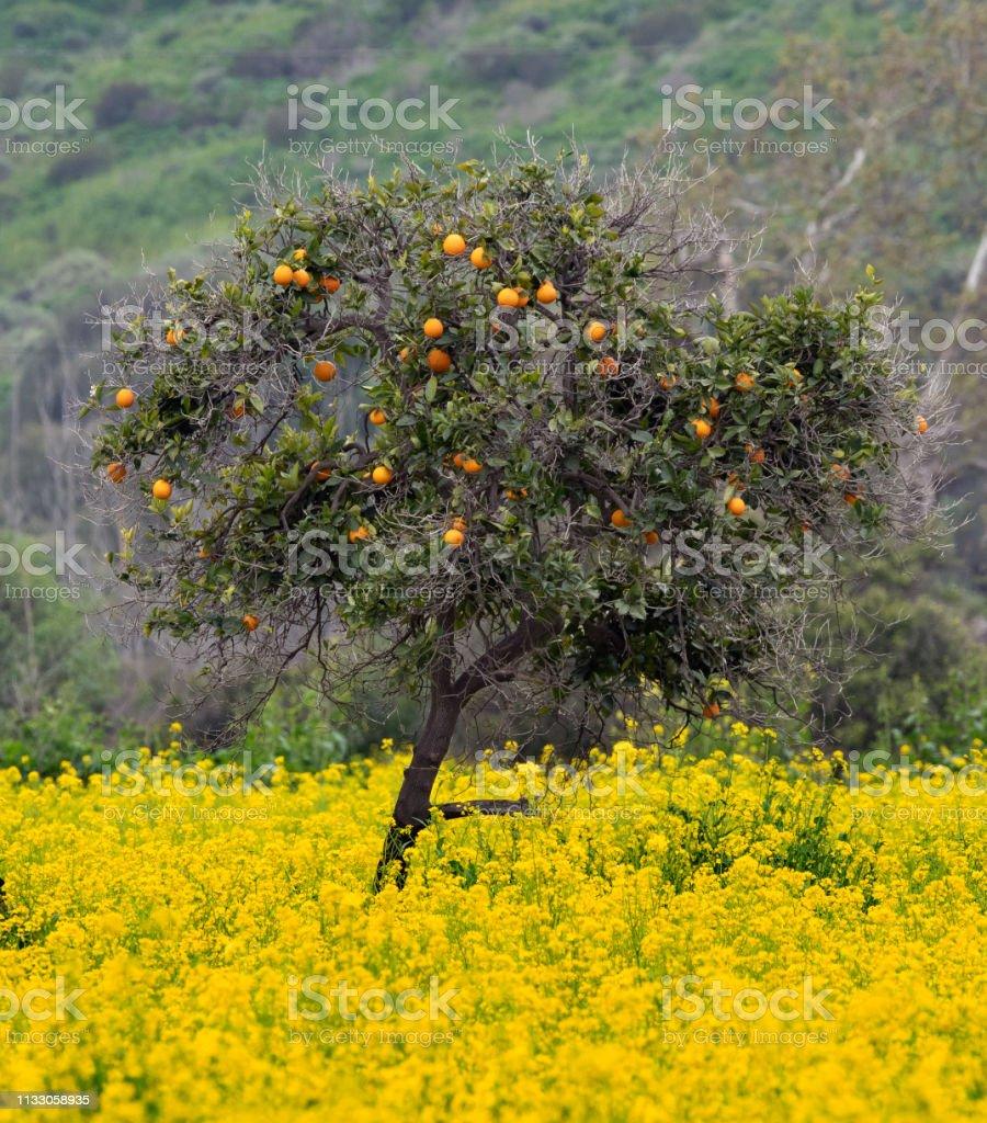 Orange Tree In Field Of Wild Mustard stock photo