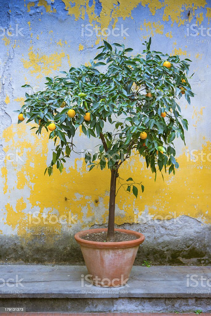Orange tree in old patio in Florence, Tuscany, Italy.