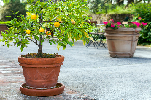 Orange Tree in Pot, Terracota Vase With Flowers, Tuscany, Italy