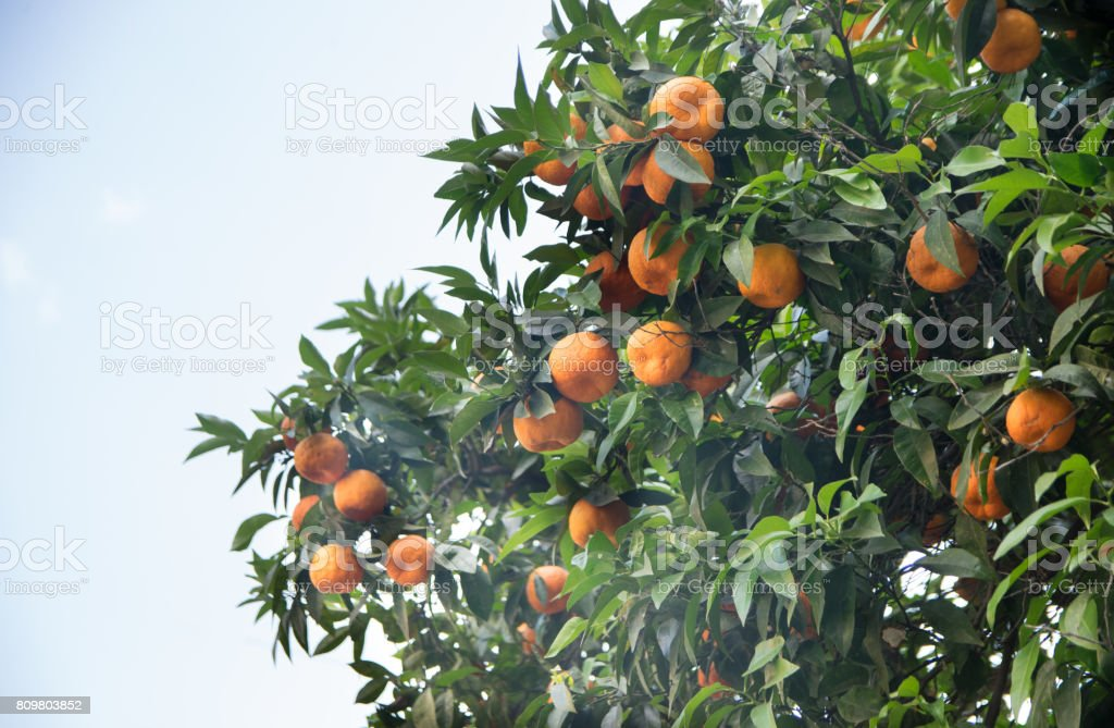 Orange tree in Rome, Italy stock photo