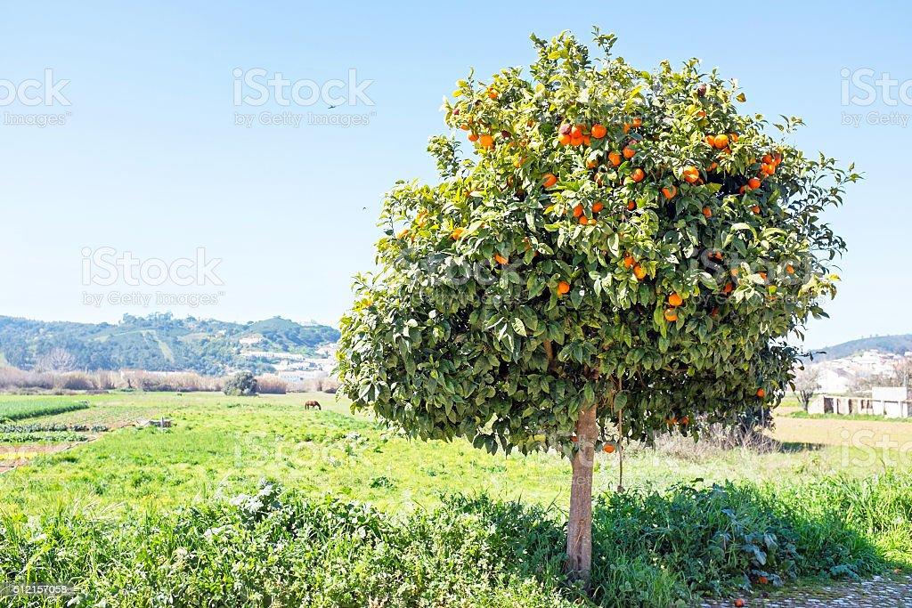 Arancio in campagna dal Portogallo - foto stock