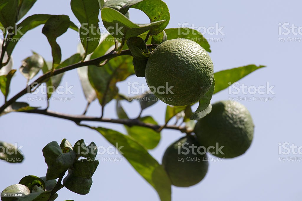 Orange tree in the summer stock photo