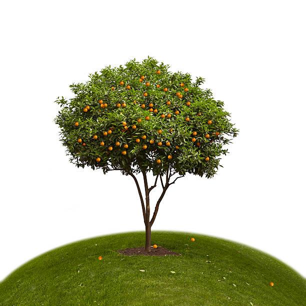 orange tree on a green hill - fruitboom stockfoto's en -beelden