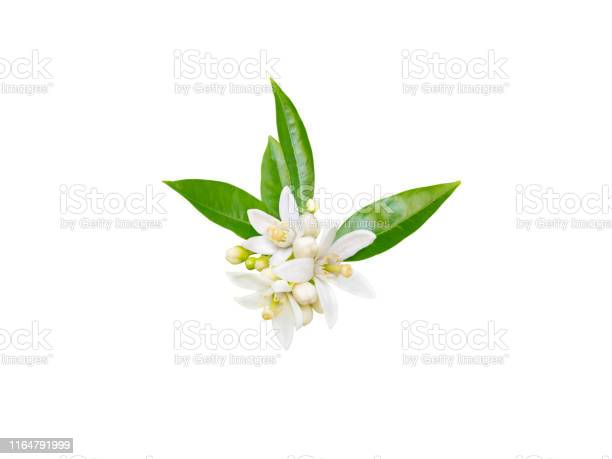 Orange tree or neroli white fragrant flowers buds and leaves picture id1164791999?b=1&k=6&m=1164791999&s=612x612&h=hfcep24y6panrgxnyrhc1pzsy9jk0lcmjc1qrbwmyoy=