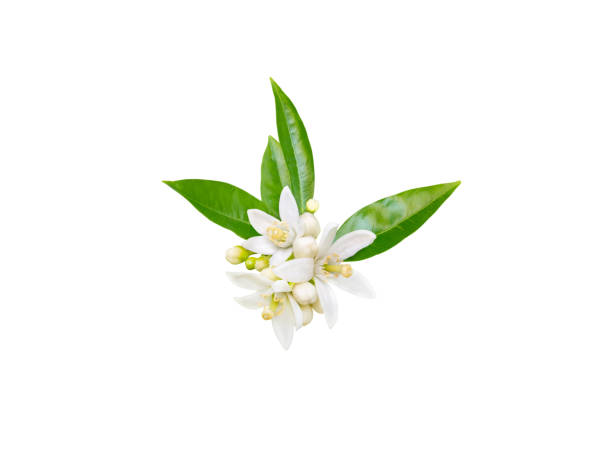 Orange tree or neroli white fragrant flowers, buds and leaves Orange tree white fragrant flowers, buds and leaves isolated on white. Neroli blossom. blossom stock pictures, royalty-free photos & images