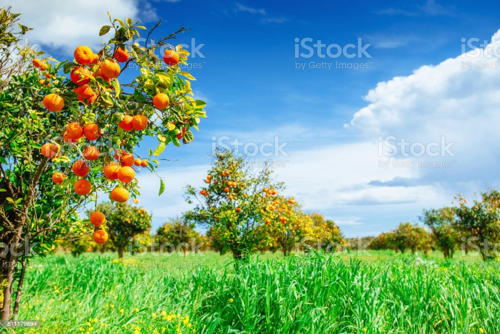 Orange -  tree  Park stock photo