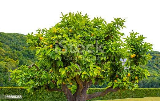 1146114680 istock photo Orange tree 1166685063