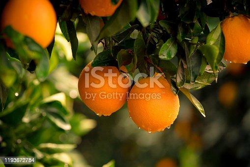 Orange - Fruit, Tangerine, Citrus Fruit, Fruit, Turkey - Middle East, Rain