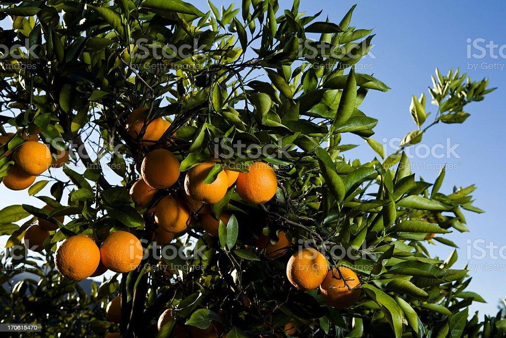 Orange tree (series) royalty-free stock photo