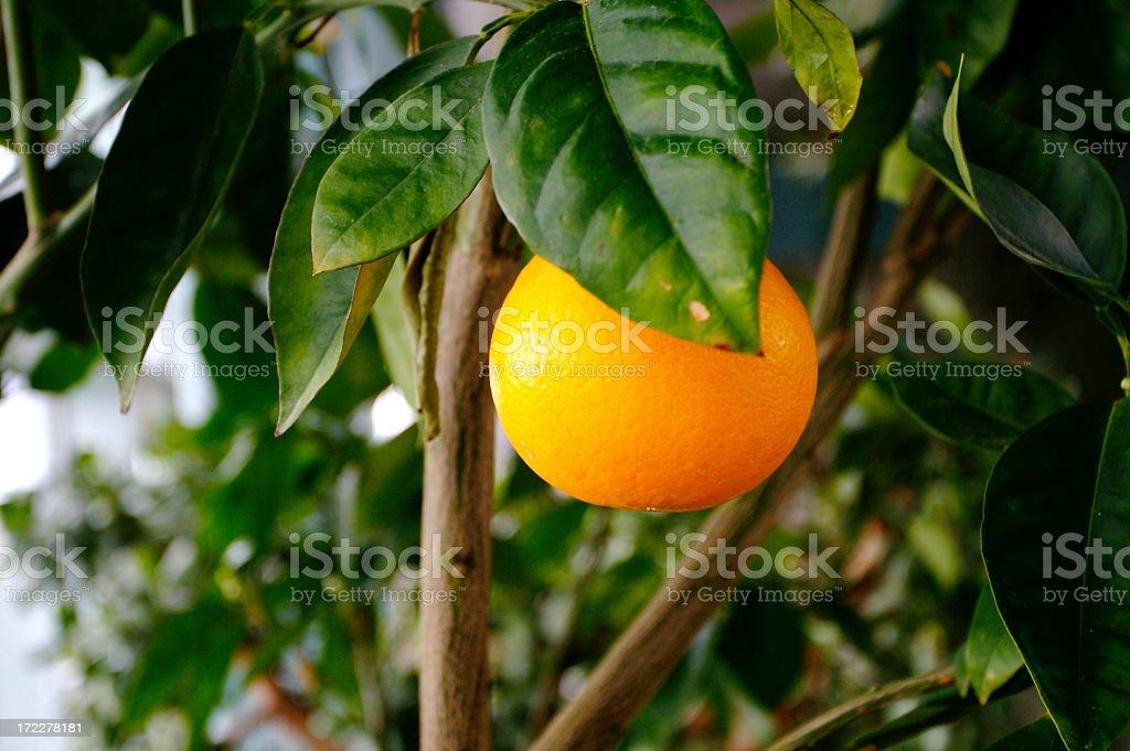 Orange tree – Foto