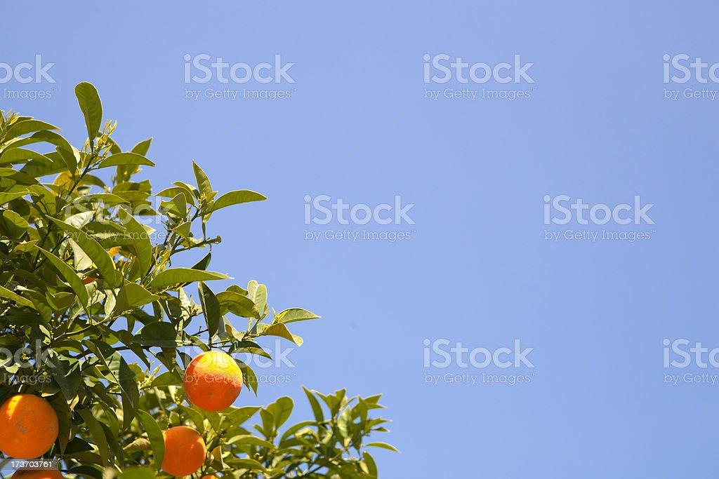 Orange tree royalty-free stock photo