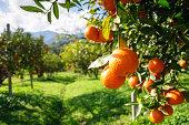 Orange tree in a filed