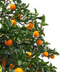 Orange tree on a white background