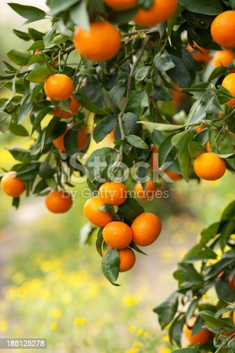 Ripe lemon fruits on a branch.  Lemon orchad in the background.Please note: shallow depth of field.See also:
