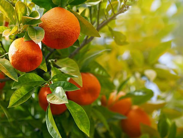 Naranjo  - foto de stock