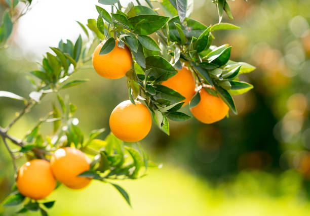 Orange tree - foto stock