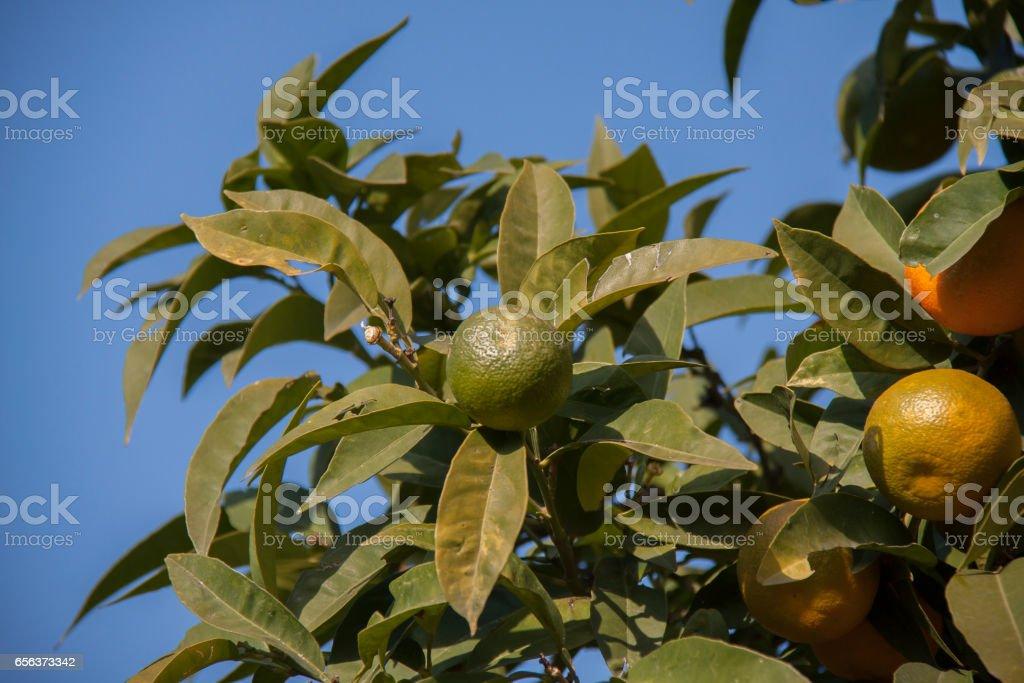 Orange tree стоковое фото
