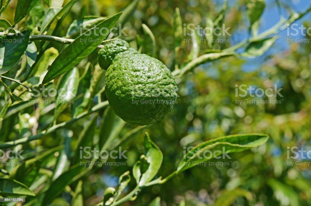 Orange (dekopon) tree royalty-free stock photo