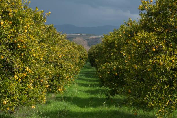 orange tree - wäldchen stock-fotos und bilder