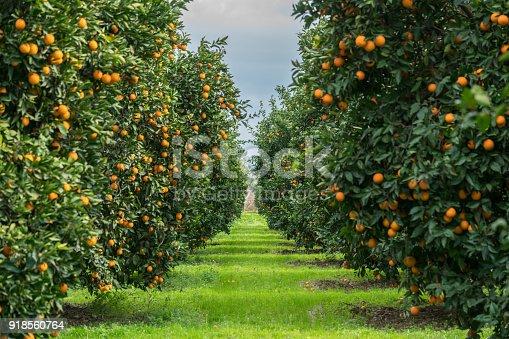 Group of Orange Tree