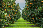 Group of Orange Tree