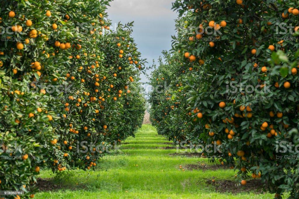 Orange Tree - foto stock