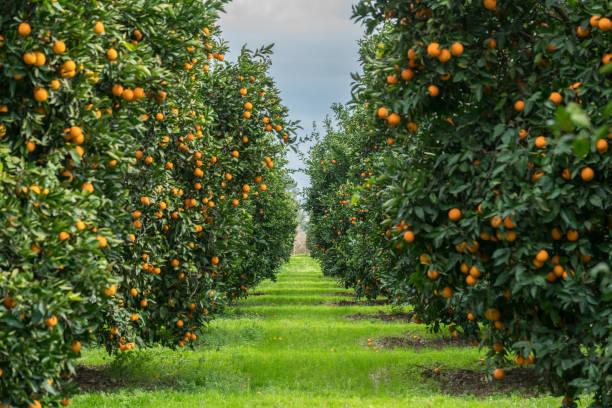 orange tree - obstgarten stock-fotos und bilder